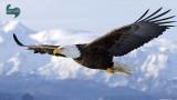 عقاب های پهپادگیر